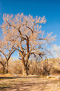 Cottonwood tree, Abiquiu, New Mexico