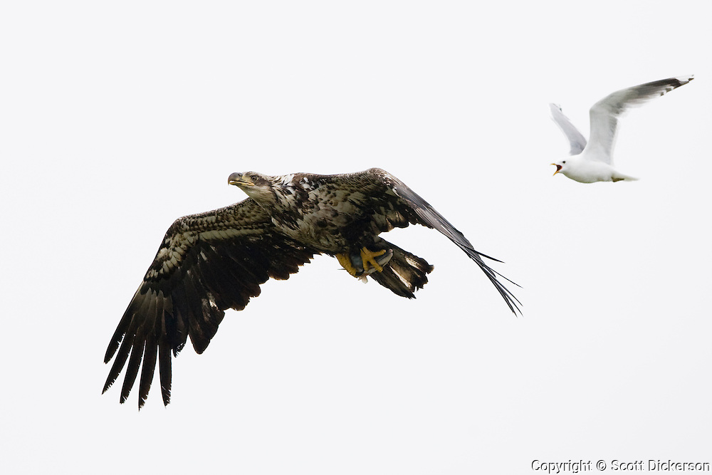 A seagull chases an eagle carrying a salmon head.