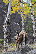Rocky Mountain elk rubbing aspen tree in autumn habitat