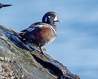 Harlequin Duck (Histrionicus histrionicus) on rock at Cambell River, Vancouver Island, Canada   Photo: Peter Llewellyn