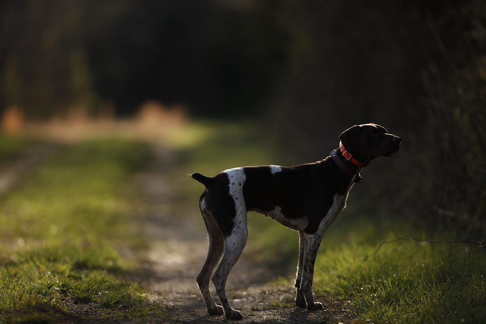 German Shorthaired Pointer on point.
