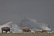 Bison; Grand Tetons; Jackson Hole; Wyoming
