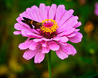 Silver-spotted Skipper Butterfly on a Zinnia Flower. Image taken with a Fuji X-H1 camera and 80 mm f/2.8 macro lens + 1.4x teleconverter