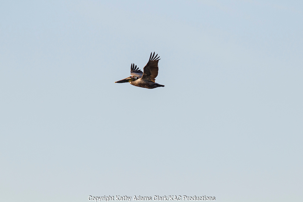 Brown pelican, Pelecanus occidentalis, flying, spring, Galveston, Texas.