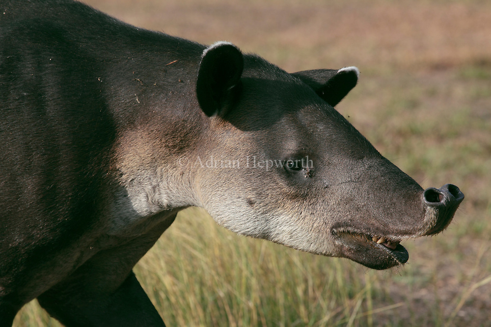 Bairds Tapir (Tapirus bairdii). Corcovado National Park, Osa Peninsula, Costa Rica. <br />