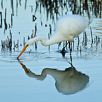 A great egret (Ardea alba) fishing at sunset catches a small fish and the action is reflected in the water, Chincoteague National Wildlife Refuge, Assateague Island, Virginia.