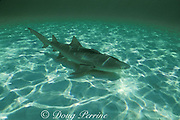 lemon shark, Negaprion brevirostris, with remoras, Bimini, Bahamas ( Atlantic )