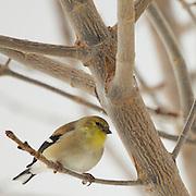 Amercian Goldfinch (female,winter) Northern Utah