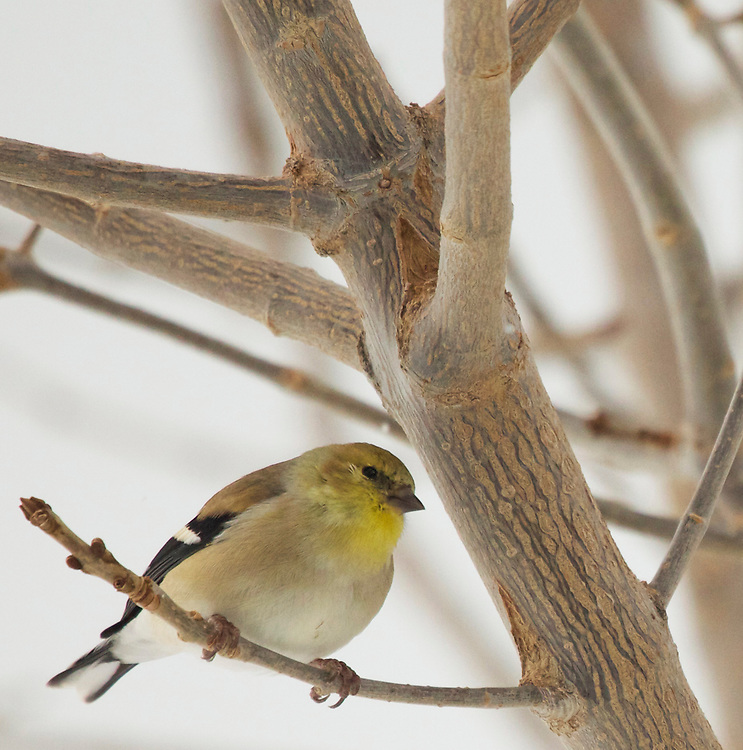 Amercian Goldfinch (female,winter) Northern Utah