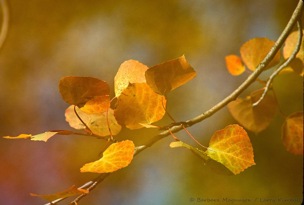 Autumn aspen leaves [Populus tremuloides], detail; Colorado