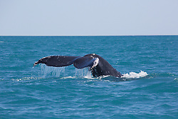 A humpback whale surfaces near Barred Creek, north of Broome, Western Australia.
