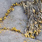 Seaweed growing on a rock between the cracks, Dritvik beach, Iceland