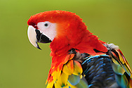 Macaw,Indigenous concession area,Indigenous Indian tribe, Amacayon Indian Village, Ticuna Indians,Marasha Lodge and Reserve,along Amazon River,Peru,
