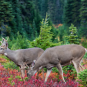 Two bucks at Mt. Rainier National Park