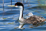 Western Grebe, with baby chick on back, Southern California