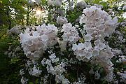 Mountain Laurel; Kalmia latifolia; in bloom; NJ, Bellplain State Forest