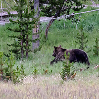 Face Off! Bear's had enough of wolf being this close. Bear chases wolf a good distance from the elk kill which bear is stealing from wolf. Yellowstone National Park, Wyoming.