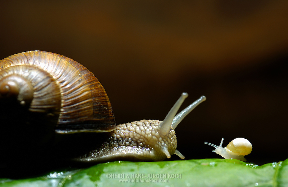 Deutschland, DEU, 2002: Eine ausgewachsene Weinbergschnecke (Helix pomatia) triffte eine junge, erst wenige Tage alte. | Germany, DEU, 2002: Edible snails (Helix pomatia) , an adult snail meets a  few days old young. |