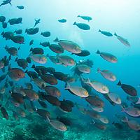 DIver among school of Yellowmask Surgeonfish, Acanthurus mata, Komodo Island, Indonesia.