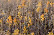 Light snow on late fall aspens in the San Juan Mountains, Uncompahgre National Forest, Colorado.
