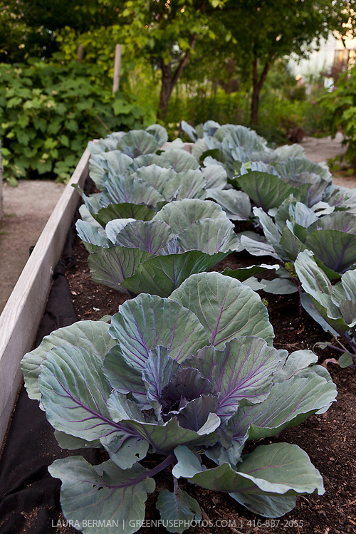 Purple cabbage plants in wooden planter.