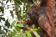 Bornean Orangutan <br /> Pongo pygmaeus<br /> Adult female eating wild fruit<br /> Tanjung Puting National Park, Indonesia