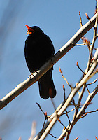 Switzerland. Springtime. Blackbird singing on a sunny day.