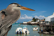 Great Blue Heron (Ardea herodias) with town and boats in back<br /> Puerto Ayora. Santa Cruz Island, GALAPAGOS<br /> ECUADOR. South America<br /> RANGE; Alaska, USA to Islands of Venezuela & Galapagos