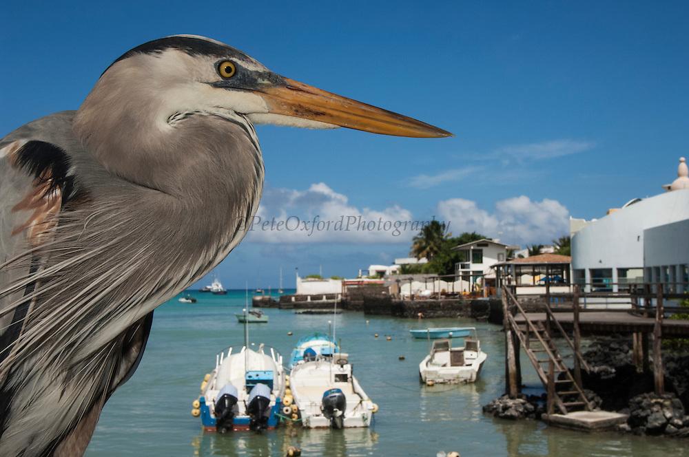 Great Blue Heron (Ardea herodias) with town and boats in back<br /> Puerto Ayora. Santa Cruz Island, GALAPAGOS<br /> ECUADOR. South America<br /> RANGE; Alaska, USA to Islands of Venezuela &amp; Galapagos