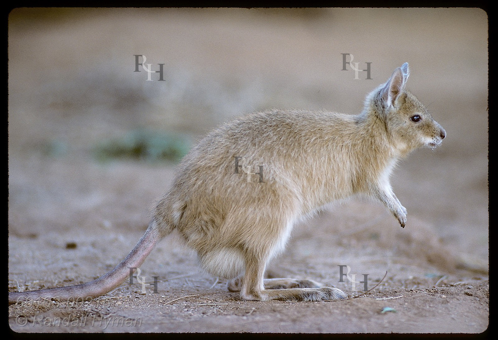 Profile, endangered female mala, or rufous hare-wallaby, w/ full pouch, ready to hop; Alice Sprng Australia