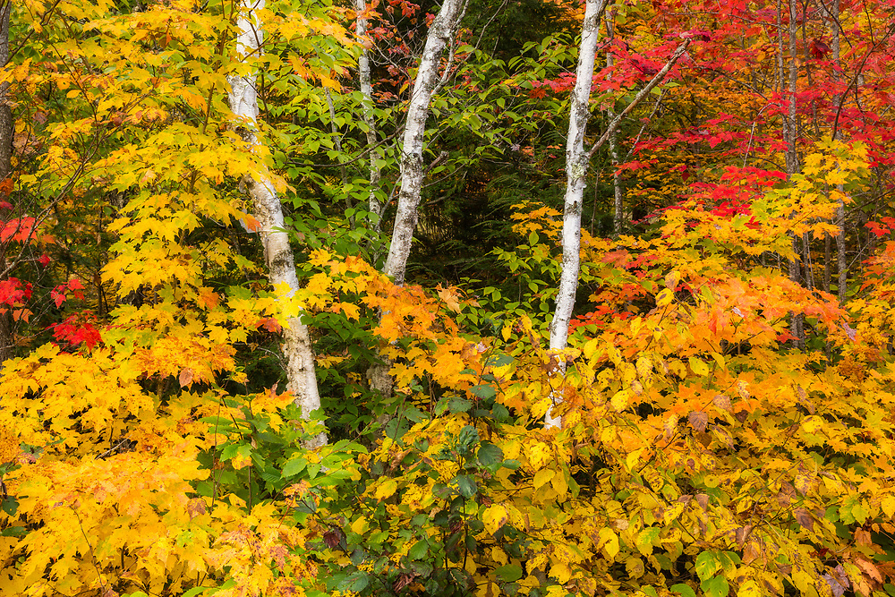 Autumn foliage, intimate forest landscape, Groton State Forest, near Marshfield, Vermont