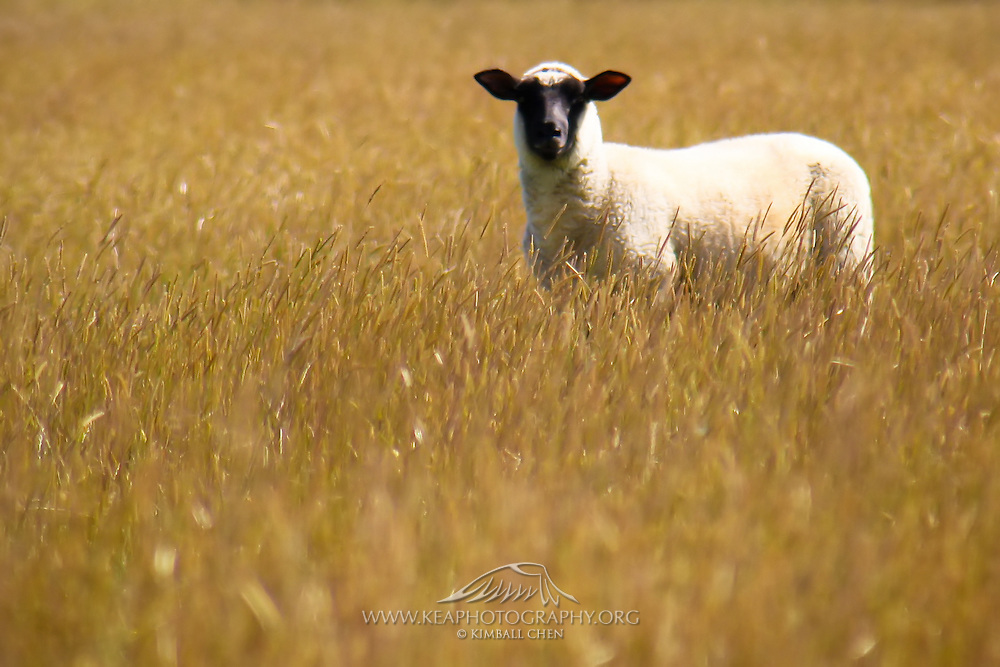 Sheep in Wheatfield, Catlins, New Zealand
