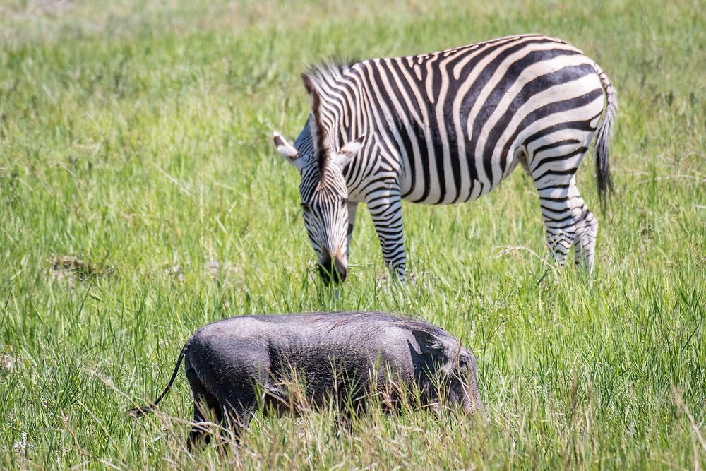 A zebra grazes on the grasslands of the savanna alongside a warthog in Hwange National Park. Hwange, Zimbabwe.