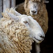 20170423 My Sheep