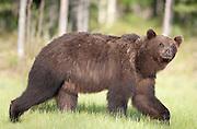 European Brown Bear, Ursus arctos arctos, Kuhmo, Finland, Lentiira, Vartius near Russian Border, walking across marshland, looking at camera,