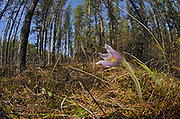 Prairie crocus (Anemone patens) at edge of forest<br />