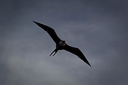 Fregeta minor (Greater Frigate Bird)