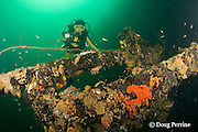 diver explores the wreck of the El Capitan / USS Majaba, an American freighter of 90 m length, sunk in 1946 in Subic Bay, Philippines, lying on its side at a depth of 5-21 m; MR 379