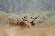 Red deer stags (Cervus elaphus) in blizzard, Cheshire, UK