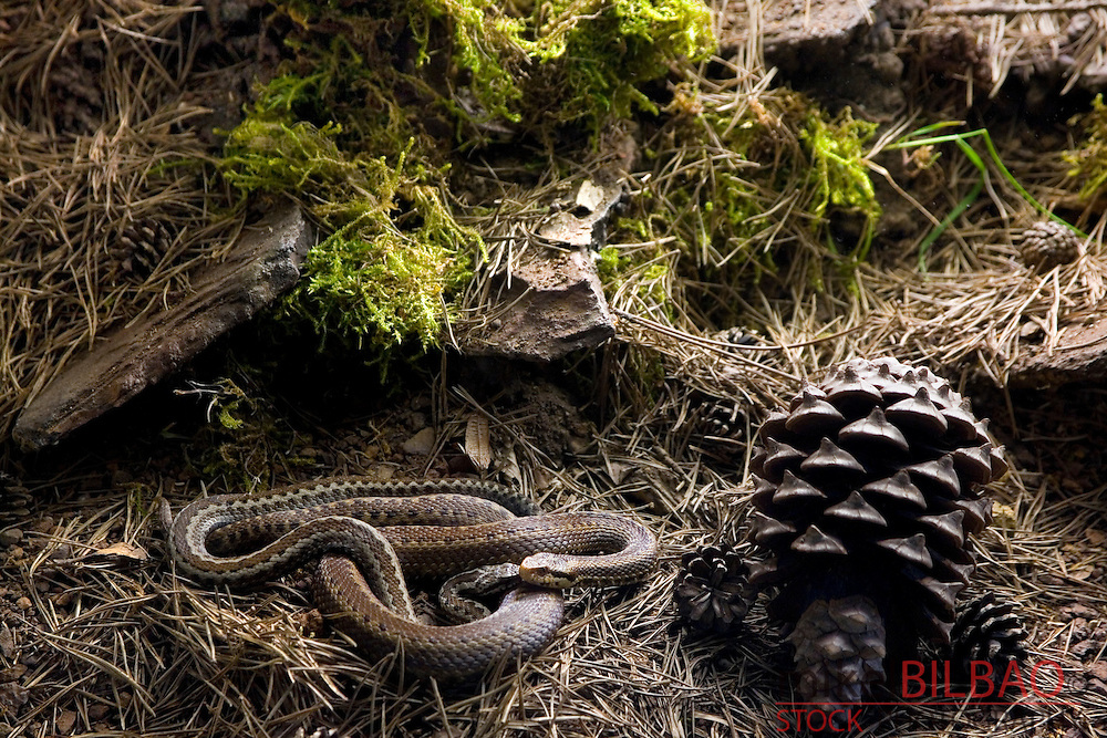 Iberian cross adder or Baskian viper (Vipera seoanei)