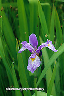 63899-05101 Blue Flag Iris (Iris virginica) in wetland, Marion Co.  IL