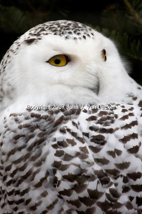 Snowy Owl, Bubo scandiacus.  Bergen County Zoo, Paramus, New Jersey, USA