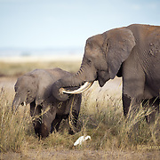 Elephant mother and son dine with egret, Amboseli National park