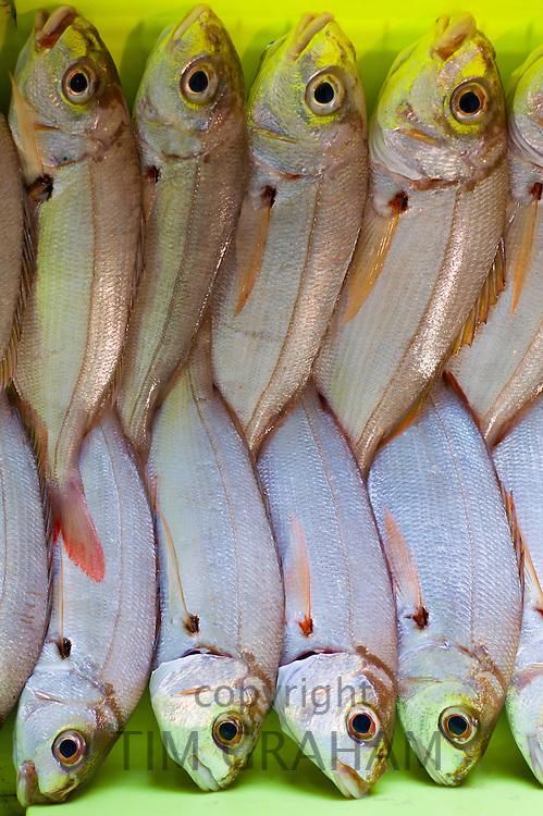 Seabream fish - Aligote, Pagellus acarne, at Confradia de Pescadores de Luarca, Confederation of Luarca Fishermen, at Puerto Luarca in Asturias, Spain