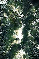 Arashiyama bamboo forest, dreamy skyward view of tree tops from below the converging stems, Kyoto, Japan.