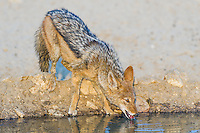 Black-backed Jackal drinking from a waterhole, Kgalagadi Tranfrontier Park, Northern Cape, South Africa