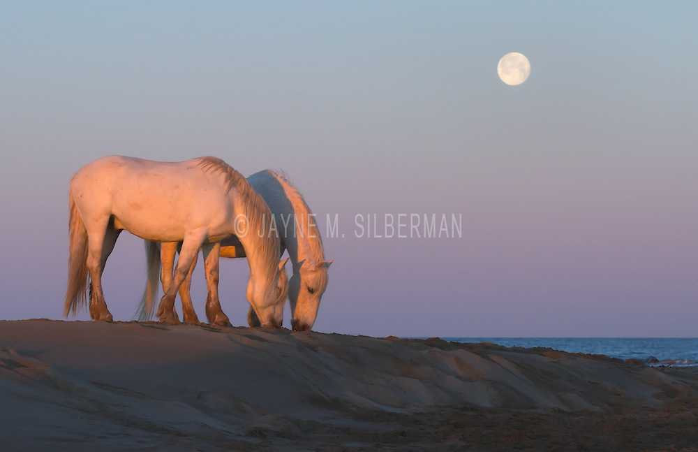 Two horses at liberty grazing on the beach at dawn.