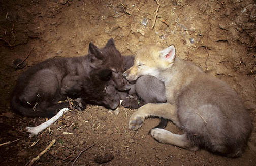 Gray Wolf, (Canis lupus) Pups resting inside of den. Captive Animal.