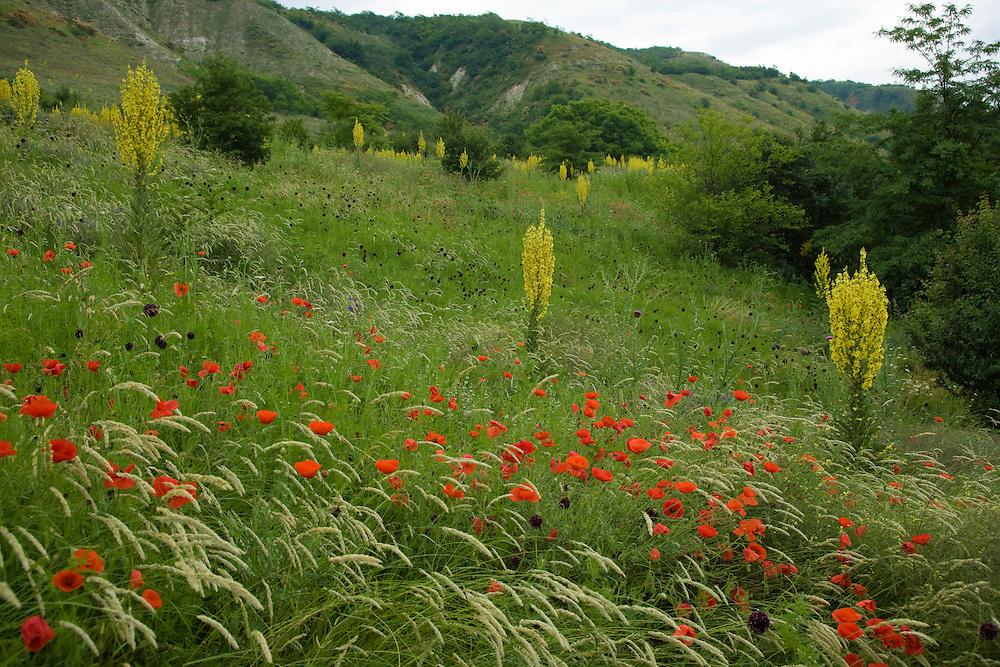 Fallow ground with Denseflower mullein (Verbascum densiflorum)  Musk thistle (Carduus nutans) and Corn Poppy (Papaver rhoeas), Brachland, Großbluetige Königskerze mit Nickender Distel und Klatschmohn, near Nikopol, Bulgaria