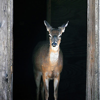 Welcome Home Deer. A White-tail Deer standing in a doorway